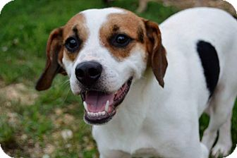 Beagle/Terrier (Unknown Type, Medium) Mix Dog for adoption in Medina, Tennessee - Burmeister