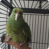Adopt A Pet :: Sissy - Punta Gorda, FL