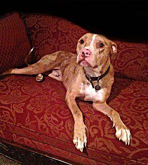 American Pit Bull Terrier Dog for adoption in Des Moines, Iowa - Simon ADOPTION PENDING
