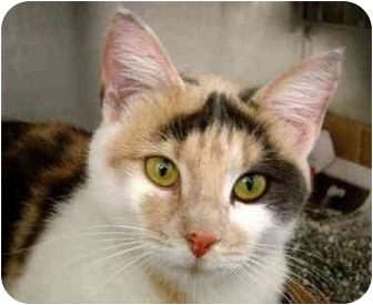 Domestic Shorthair Cat for adoption in Overland Park, Kansas - Mow Mow