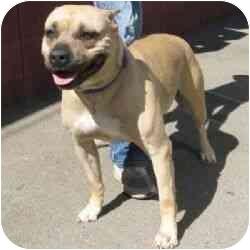 American Pit Bull Terrier Mix Dog for adoption in Berkeley, California - Karina