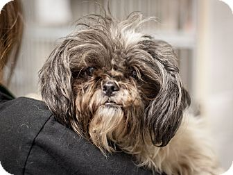 Shih Tzu Mix Dog for adoption in Dallas, Texas - Mckenzie