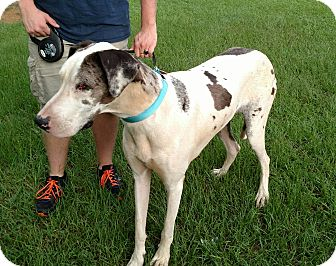 Great Dane Mix Dog for adoption in Portsmouth, New Hampshire - SYNDI-ADOPTION PENDING