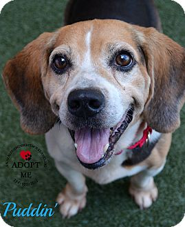 Beagle Mix Dog for adoption in Youngwood, Pennsylvania - Puddin'