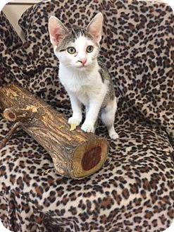 Domestic Shorthair Kitten for adoption in Marshall, Texas - Patches