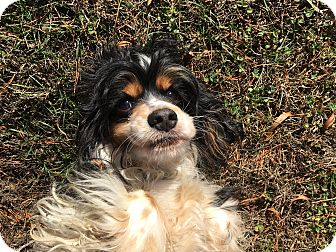 Cocker Spaniel Dog for adoption in Kannapolis, North Carolina - Alexis - Adopted!