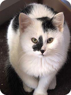 Domestic Shorthair Kitten for adoption in Brookings, South Dakota - Landen