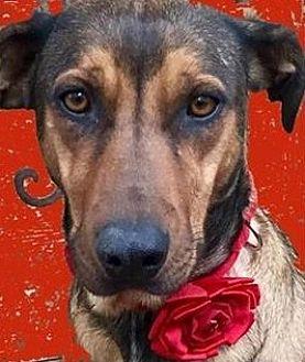 Rhodesian Ridgeback/German Shepherd Dog Mix Dog for adoption in Memphis, Tennessee - Spirit~SoSmart!