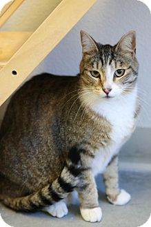 Domestic Shorthair Cat for adoption in Boise, Idaho - Kimber