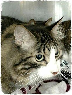 Domestic Mediumhair Cat for adoption in Pueblo West, Colorado - Sparky