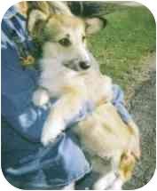 Pembroke Welsh Corgi Dog for adoption in Inola, Oklahoma - Jill