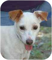 Jack Russell Terrier Mix Dog for adoption in Warren, New Jersey - Tamar