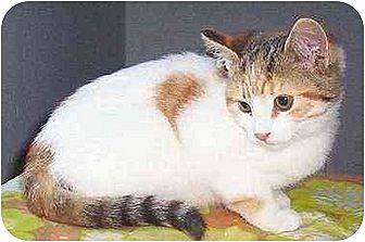 Calico Cat for adoption in Chapman Mills, Ottawa, Ontario - MACY