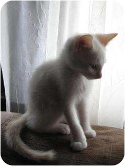 Siamese Kitten for adoption in Homestead, Florida - Buster