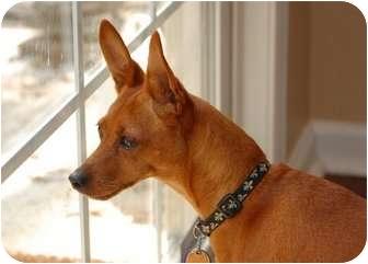 Miniature Pinscher Dog for adoption in Nashville, Tennessee - Peanut
