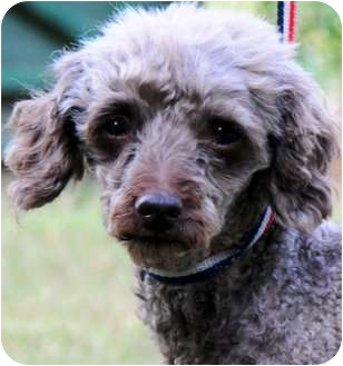 Poodle (Miniature) Dog for adoption in Wakefield, Rhode Island - BECK