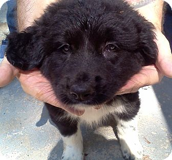 Great Pyrenees/Australian Shepherd Mix Puppy for adoption in Bel Air, Maryland - Mariah