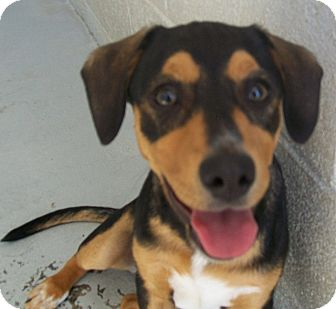 Shepherd (Unknown Type) Mix Puppy for adoption in Grants Pass, Oregon - Alice