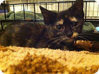 Domestic Shorthair Kitten for adoption in Austin, Texas - Einestein