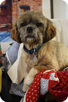Shih Tzu/Pekingese Mix Dog for adoption in Marietta, Georgia - Chewy