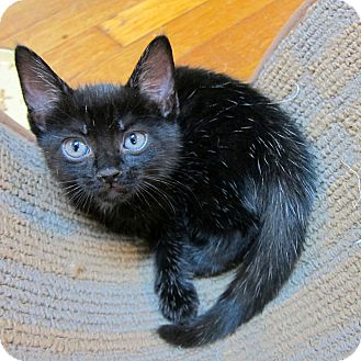 American Shorthair Kitten for adoption in Brooklyn, New York - Porcupine