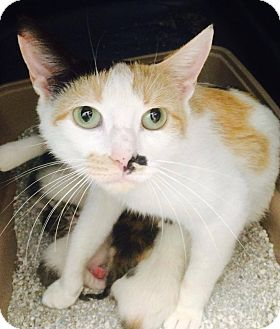 Domestic Shorthair Cat for adoption in Dillon, South Carolina - Callie