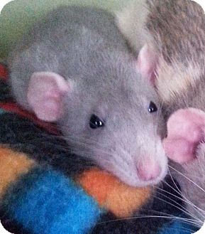 Rat for adoption in St. Paul, Minnesota - Tuesday Blue  - ADOPTION PENDI