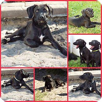 Weimaraner/Rhodesian Ridgeback Mix Puppy for adoption in Inverness, Florida - CHEVRON