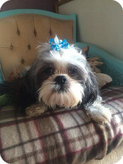 Shih Tzu Dog for adoption in Seattle, Washington - Mickey