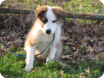 Australian Shepherd Mix Puppy for adoption in Newburgh, New York - Chessa