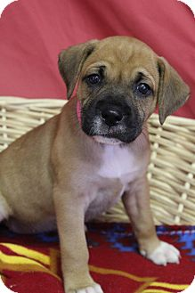 Boxer Mix Puppy for adoption in Waldorf, Maryland - Nana