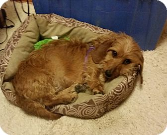 Dachshund Mix Dog for adoption in Homer, New York - Taylor