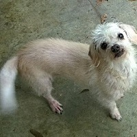 Toy Poodle/Chihuahua Mix Dog for adoption in Cary, North Carolina - Prissy