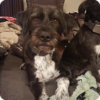 Adopt A Pet :: Atticus - Austin, TX