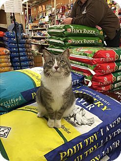Domestic Shorthair Cat for adoption in Rochester, Minnesota - Olive