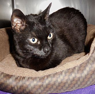 Domestic Shorthair Cat for adoption in Anchorage, Alaska - Pepper