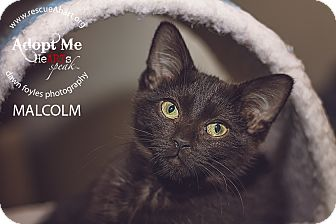 Domestic Shorthair Kitten for adoption in Cincinnati, Ohio - Malcolm