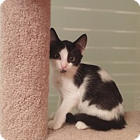 Adopt A Pet :: PPBAWC BW Male - Manasquan, NJ