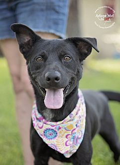 Labrador Retriever/Cattle Dog Mix Dog for adoption in Houston, Texas - Gypsy