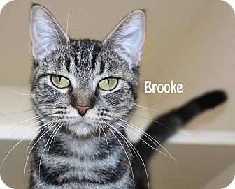 Domestic Mediumhair Cat for adoption in Idaho Falls, Idaho - Brooke