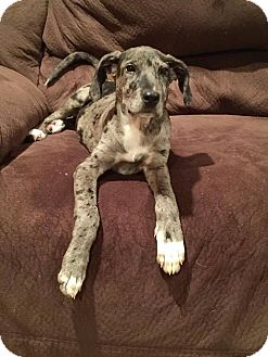 Great Dane Mix Dog for adoption in New Oxford, Pennsylvania - Hayleigh