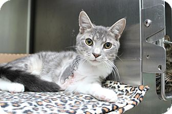 Domestic Shorthair Kitten for adoption in Warwick, Rhode Island - Max