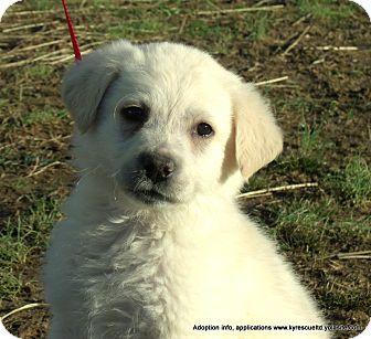 Golden Retriever/Labrador Retriever Mix Puppy for adoption in Waterbury, Connecticut - ARI~Adopted