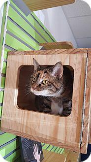 Domestic Shorthair Cat for adoption in Chesapeake, Virginia - Ripley