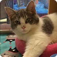 Adopt A Pet :: Chester - Byron Center, MI