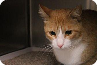Domestic Mediumhair Cat for adoption in Daytona Beach, Florida - Sapphire