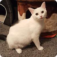 Domestic Shorthair Cat for adoption in Highland, Indiana - Ava