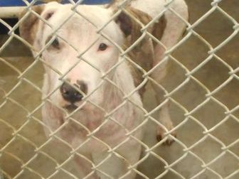 American Pit Bull Terrier Mix Dog for adoption in Opelousas, Louisiana - Leo