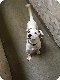 American Bulldog Mix Puppy for adoption in Boca Raton, Florida - Wendy