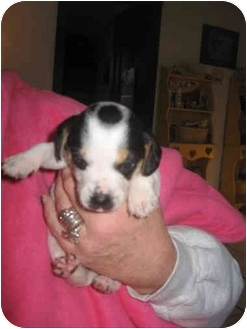 Beagle Puppy for adoption in Buffalo, New York - Marbles